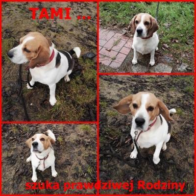 Beagle Tami szuka dobrego domku